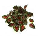 Pangea Leafy Vine - Red Coleus