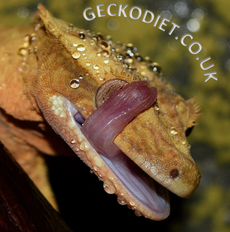 Welcome to Gecko Diet, thanks for Visiting!